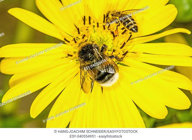 buff-tailed bumblebee and bee on compass flower in Germany