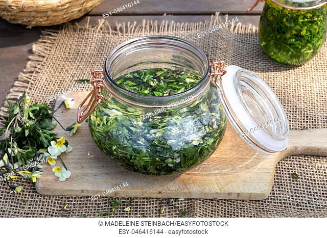 Preparation of herbal tincture from fresh blooming field pansy, or Viola arvensis plant