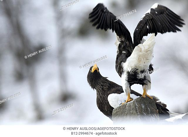 Steller's sea eagle (Haliaeetus pelagicus) couple, Japan