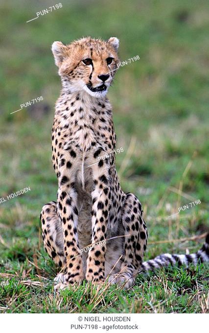 Cheetah cub Acinonyx Jubatus sitting after feeding