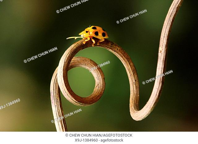 yellow color of ladybird