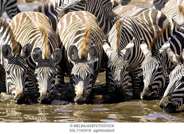 Grant zebras Equus quagga boehmi Serengeti National Park Tanzania Africa