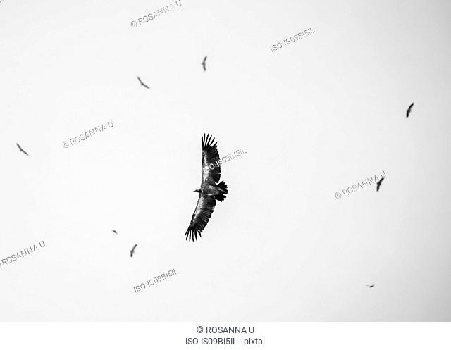 Bird in flight, low angle view, Chobe National Park, Botswana