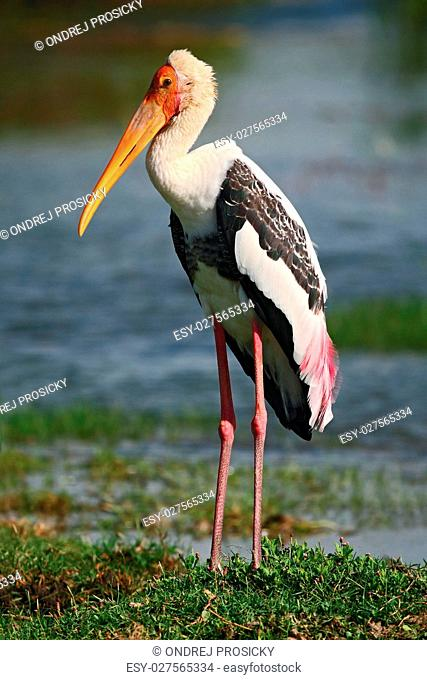 Stork in the nature march habitat. Stork in Africa
