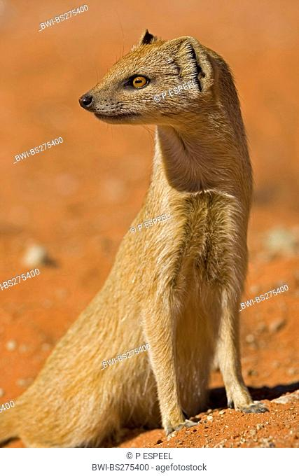 yellow mongoose Cynictis penicillata, sitting on the ground looking around, South Africa, Northern Cape, Kgalagadi Transfrontier National Park
