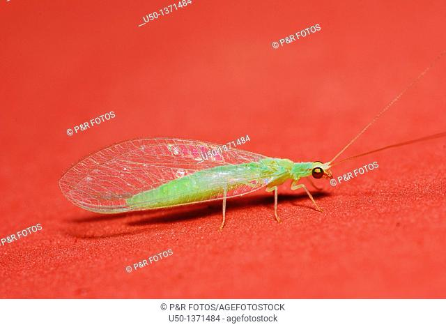 Common lacewing, Chrysoperla sp , Chrysopidae, Neuroptera, Brazil, 2009  15 mm lenght
