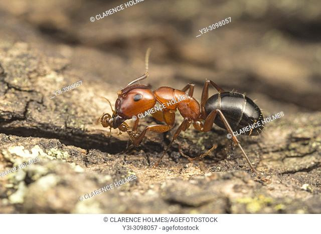 A Carpenter Ant (Camponotus Sayi) preys on a smaller fire ant species