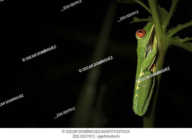 Red-eyed Treefrog (Agalychnis callidryas) perched on aquatic vegetation. La Selva Biological Station. Costa Rica