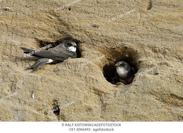 Sand Martin / Bank Swallows ( Riparia riparia) resting in the entrance of their nest holes in a sandy river bank, wildlife, Europe