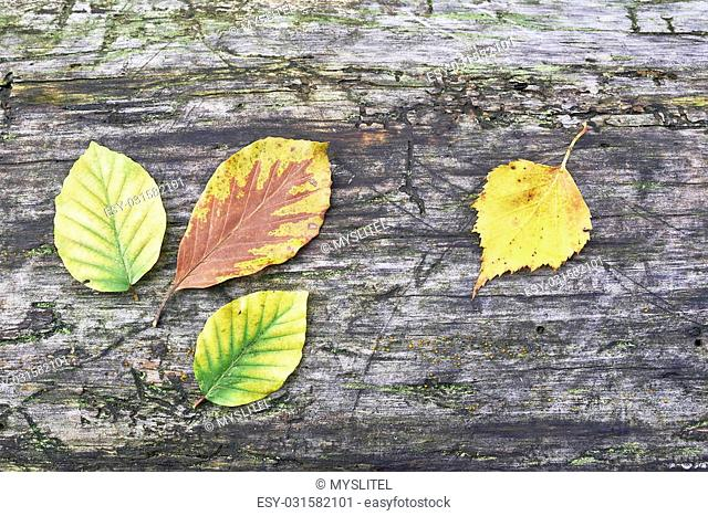Four autumn leaves on old wood