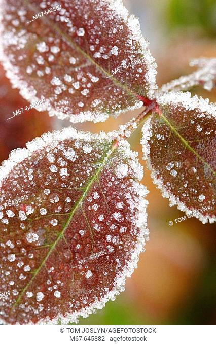 Frost covered leaves close up. England , UK