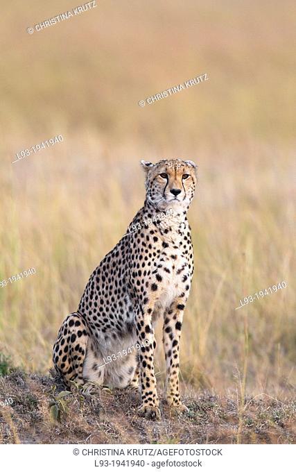 Cheetah (Acinonyx jubatus) adult searching for prey, Maasai Mara National Reserve, Kenya, Africa