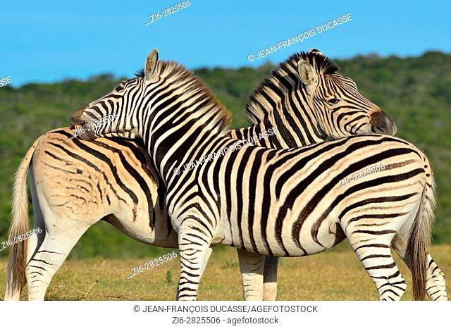 Two Burchell's zebras (Equus quagga burchellii), in grassland, Addo Elephant National Park, Eastern Cape, South Africa, Africa