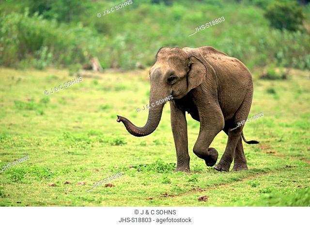 Sri Lankan Elephant, (Elephas maximus maximus), Asian Elephant, adult male smelling, Udawalawe Nationalpark, Sri Lanka, Asia