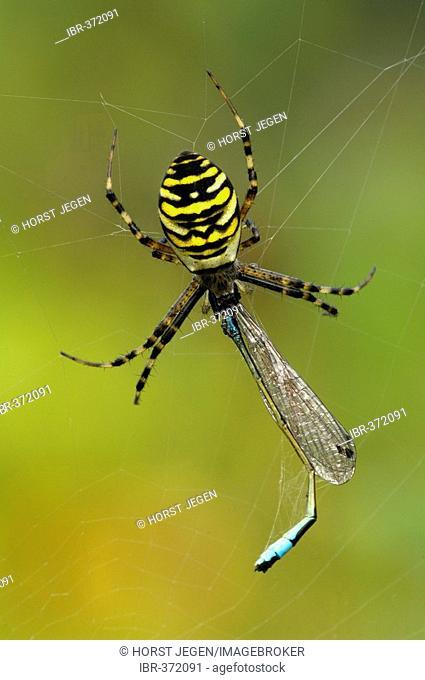 Zebra Spider or Wasp Spider (Argiope bruennichi)