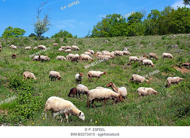 domestic sheep (Ovis ammon f. aries), herd of sheep in a meadow, Belgium, Namur