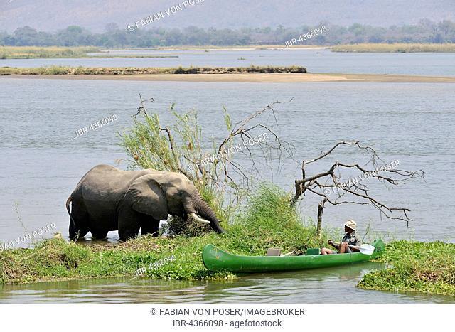Park ranger approaches an elephant (Loxodonta africana) by canoe, Zambezi River, Mana Pools National Park, Mashonaland West Province, Zimbabwe