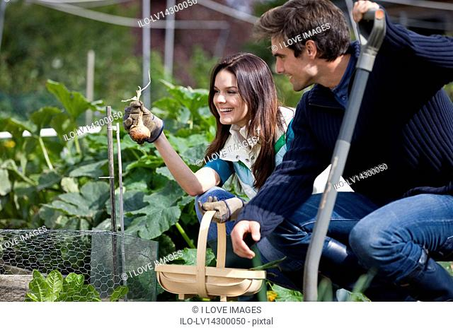 A young couple pulling up onions on an allotment