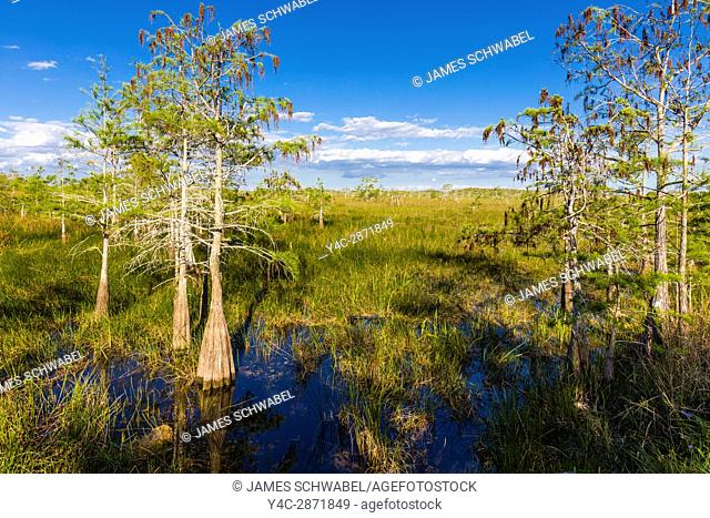 Dwarf Cypress trees in grasslands at the Pa-hay-okee Overlook in Everglades National Park Florida
