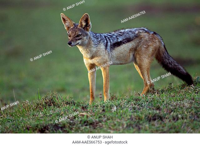 Black-backed jackal standing portrait (Canis mesomelas). Maasai Mara National Reserve, Kenya. Aug 2011