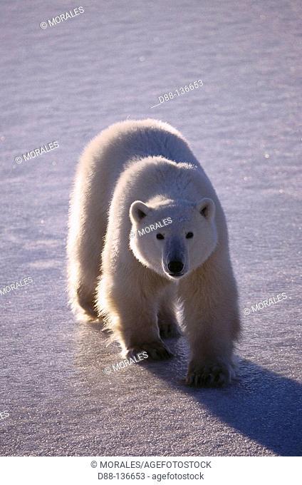 Polar Bear (Ursus maritimus). Churchill, Manitoba , Canada