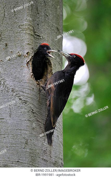Black Woodpecker (Dryocopus martius) at nest hole in a beech with chicks (Fagus sylvatica), Biosphaerenreservat Schwaebische Alb or Swabian Mountains Biosphere...