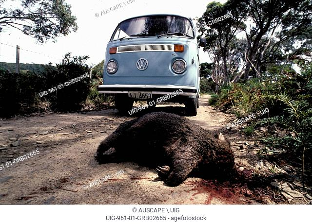 Common wombat, Vombatus ursinus, road kill, Tasmania, Australia. (Photo by: Auscape/UIG)