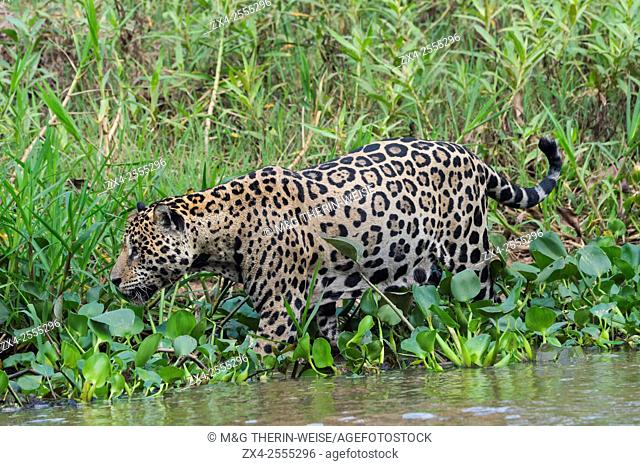 Jaguar (Panthera onca) in the water, Cuiaba river, Pantanal, Mato Grosso, Brazil
