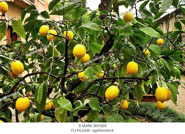 Lemon Tree, Northern Italy