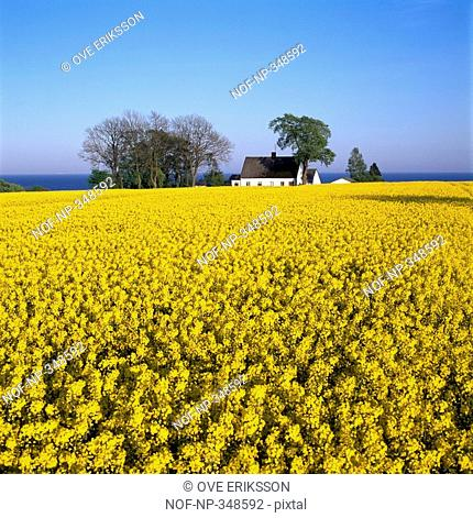 Oilseed rape crop in a field, Skane, Sweden
