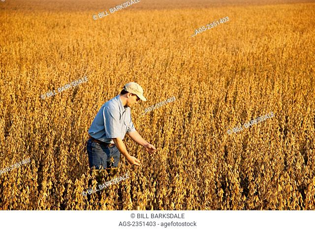 Agriculture - A crop consultant inspects a mature harvest ready crop of soybeans in early morning light / Arkansas, USA