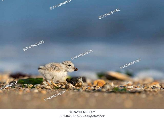 An endangered cute and tiny Piping Plover chick eats a beetle on a pebble covered beach in the early morning sunlight