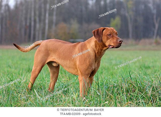Rhodesian Ridgeback in the meadow