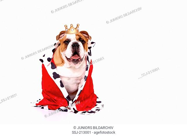 English Bulldog. Male in kings dress, sitting. Studio picture against a white background. Germany
