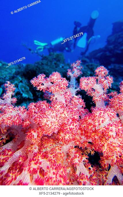Multi-branched trees, Soft Coral, Bunaken National Marine Park, Bunaken, North Sulawesi, Indonesia, Asia