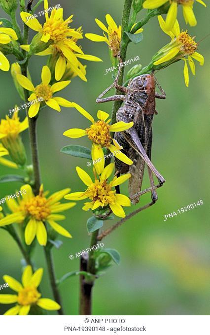Grey Bush-cricket Platycleis albopunctata - Viroin valley, Viroinval, Nismes, Namur, Wallonia, Belgium, Europe