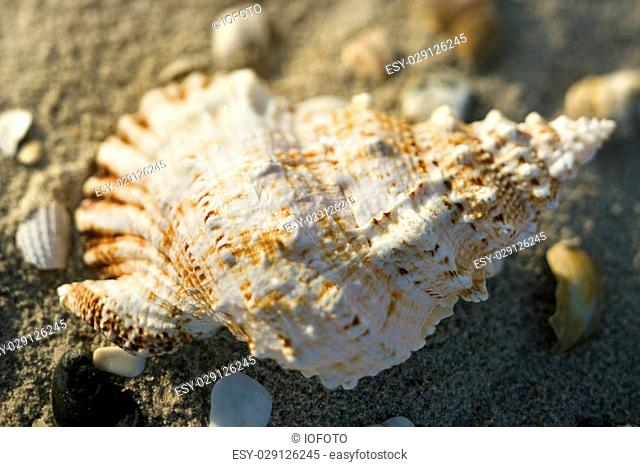 Conch shell in sand with other shells surrounding