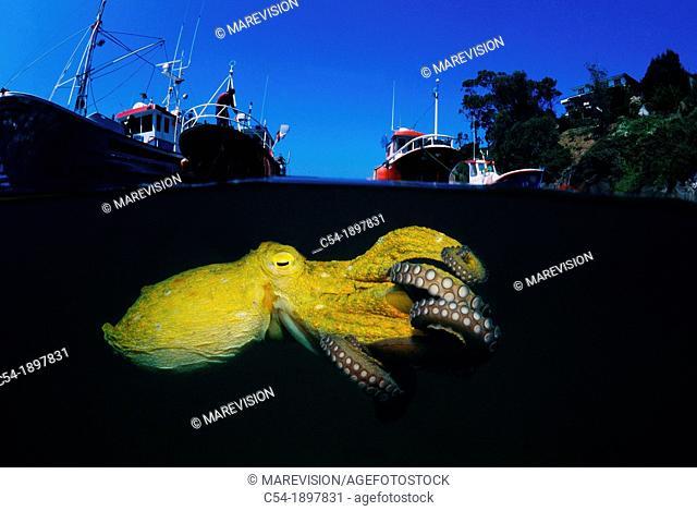 Octopus, Octopus vulgaris, Eastern Atlantic, Galicia, Spain