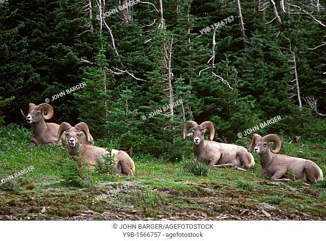 BIGHORN SHEEP Ovis canadensis four mature rams male resting near Logan Pass, Glacier National Park, Montana, USA