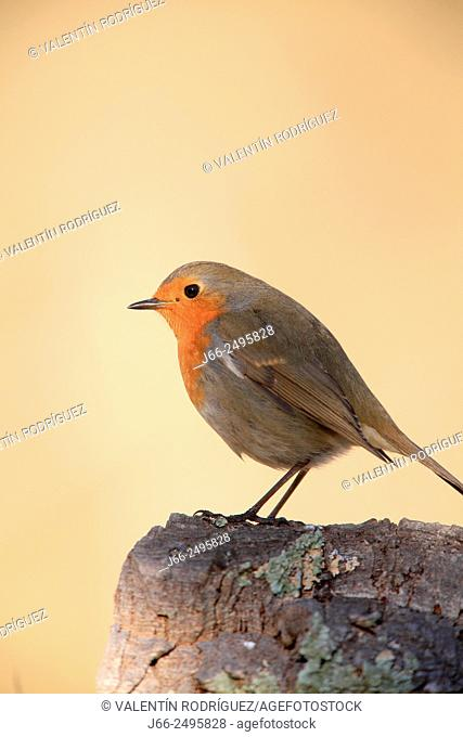 Robin (Erithacus rubecula) in the Alto Palancia region. Castellón. Spain