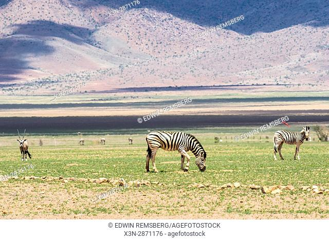 Plains zebras (equus quagga) and gemsbok antelope (oryx gazelle) grazing in Namibia Nature Reserve in Namibia, Africa