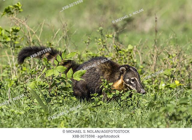 An adult South American coati, Nasua nasua, Pouso Alegre Fazenda, Mato Grosso, Brazil
