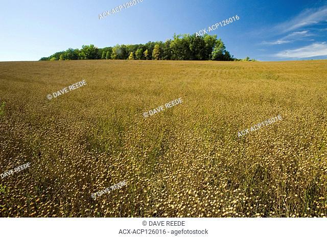 mature flax field near Somerset, Manitoba, Canada