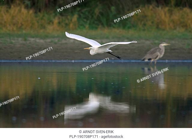 Great egret / common egret / great white egret (Ardea alba / Egretta alba) flying over lake past grey heron (Ardea cinerea)