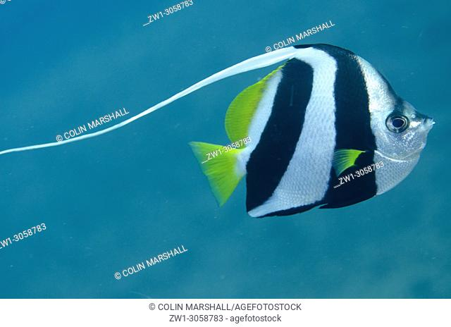 Longfin Bannerfish (Heniochus acuminatus, Chaetodontidae family) with long dorsal fin, Ghost Bay dive site, Amed, east Bali, Indonesia