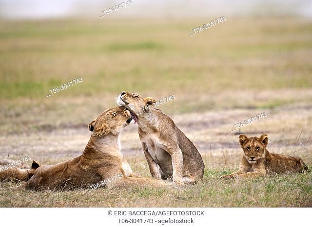 African Lion (Panthera leo), lionesses greeting, Masai Mara National Reserve, Kenya, Africa