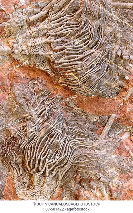 Crinoid Fossil (Scaphycrinites elegans sp) - Erfoud - South Morocco - Devonian