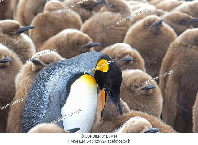 Antarctic, South Georgia Island, Salysbury plains, King Penguin (Aptenodytes patagonicus), young asking for food, feeding sesssion