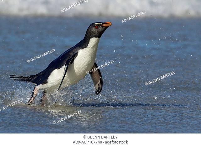 Rockhopper Penguin (Eudyptes chrysocome) emerging from the ocean in the Falkland Islands