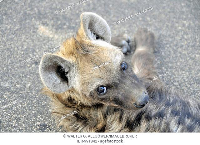 Spotted Hyena (Crocuta crocuta), young animal, lying on the road, Kruger National Park, South Africa, Africa